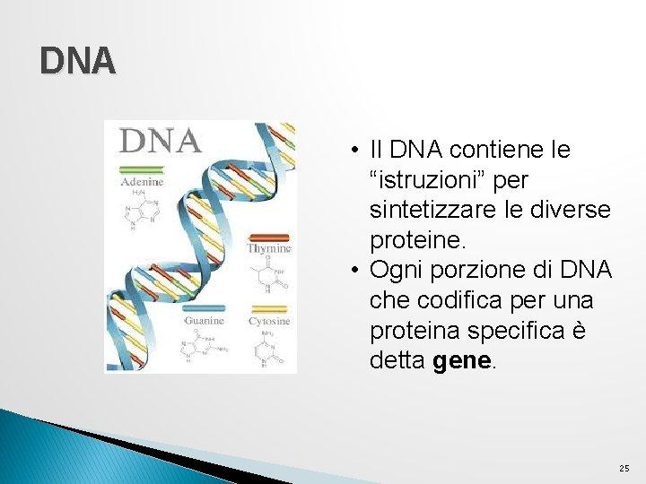 """DNA • Il DNA contiene le """"istruzioni"""" per sintetizzare le diverse proteine. • Ogni"""
