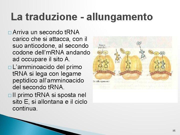 La traduzione - allungamento � Arriva un secondo t. RNA carico che si attacca,