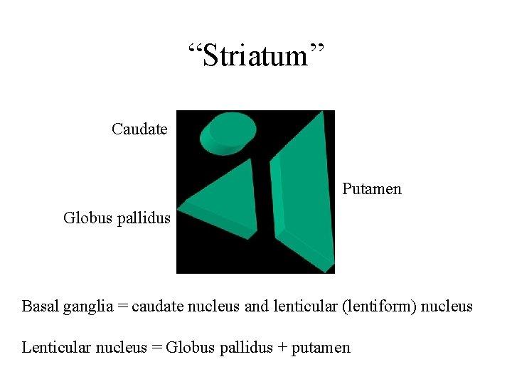"""""""Striatum"""" Caudate Putamen Globus pallidus Basal ganglia = caudate nucleus and lenticular (lentiform) nucleus"""