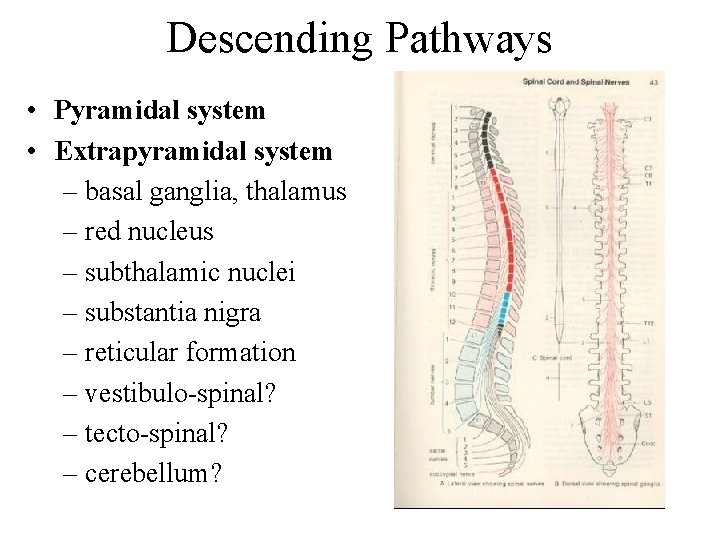 Descending Pathways • Pyramidal system • Extrapyramidal system – basal ganglia, thalamus – red