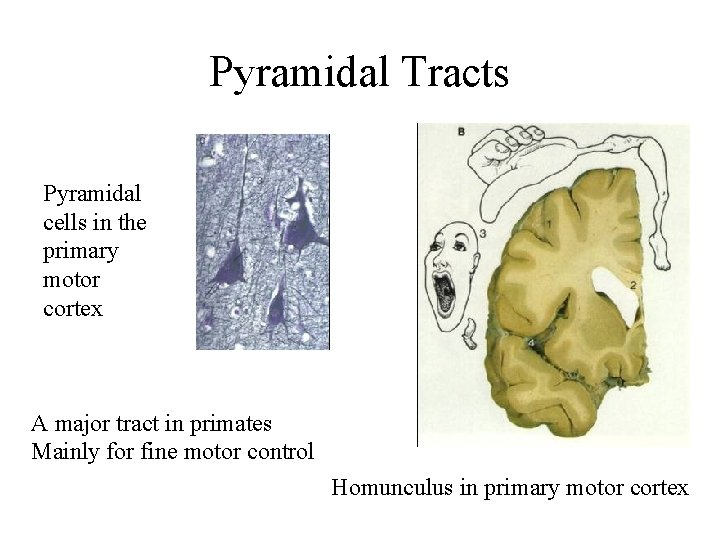 Pyramidal Tracts Pyramidal cells in the primary motor cortex A major tract in primates