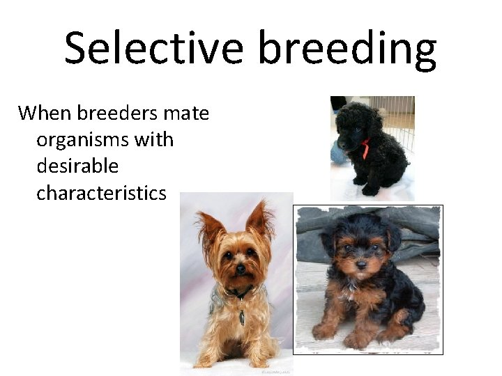 Selective breeding When breeders mate organisms with desirable characteristics