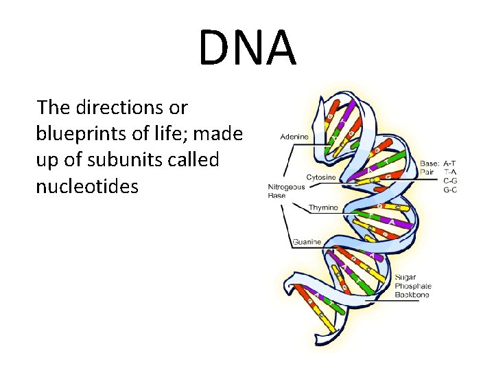 DNA The directions or blueprints of life; made up of subunits called nucleotides