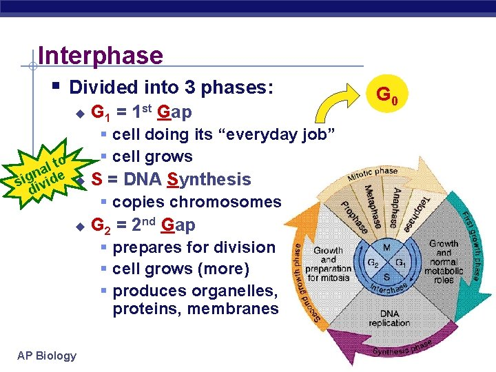Interphase § Divided into 3 phases: u l to a n sig ivide u