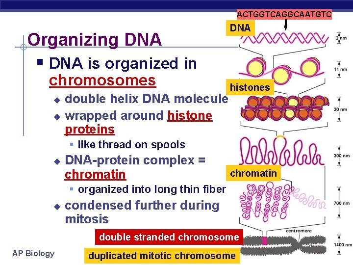 ACTGGTCAGGCAATGTC Organizing DNA § DNA is organized in chromosomes double helix DNA molecule u