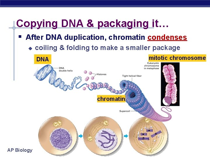 Copying DNA & packaging it… § After DNA duplication, chromatin condenses u coiling &