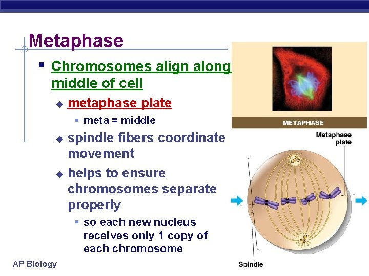Metaphase § Chromosomes align along middle of cell u metaphase plate § meta =