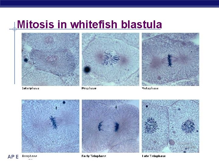 Mitosis in whitefish blastula AP Biology