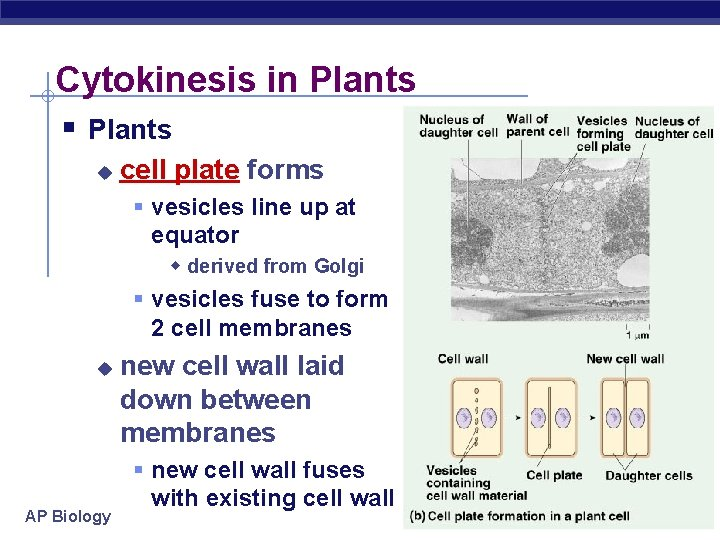 Cytokinesis in Plants § Plants u cell plate forms § vesicles line up at