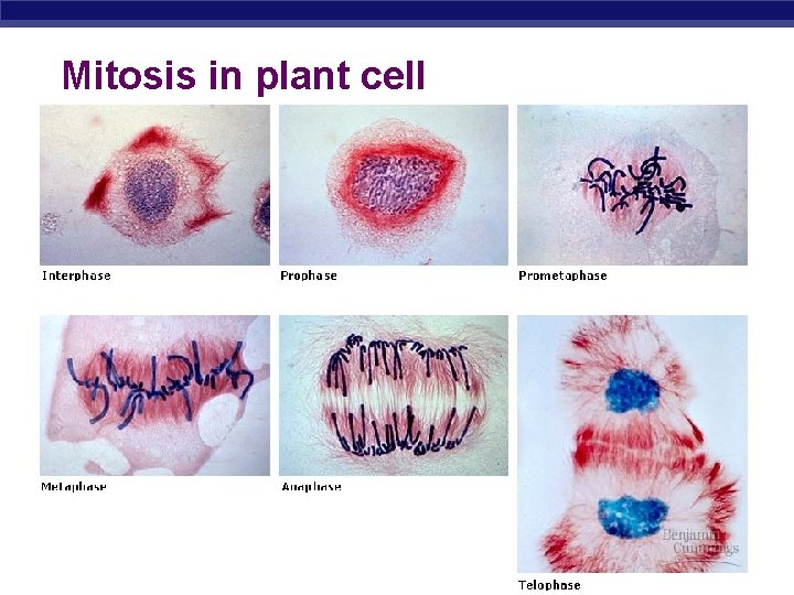 Mitosis in plant cell AP Biology