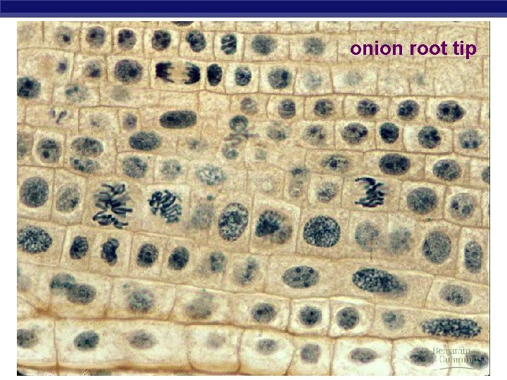 onion root tip AP Biology