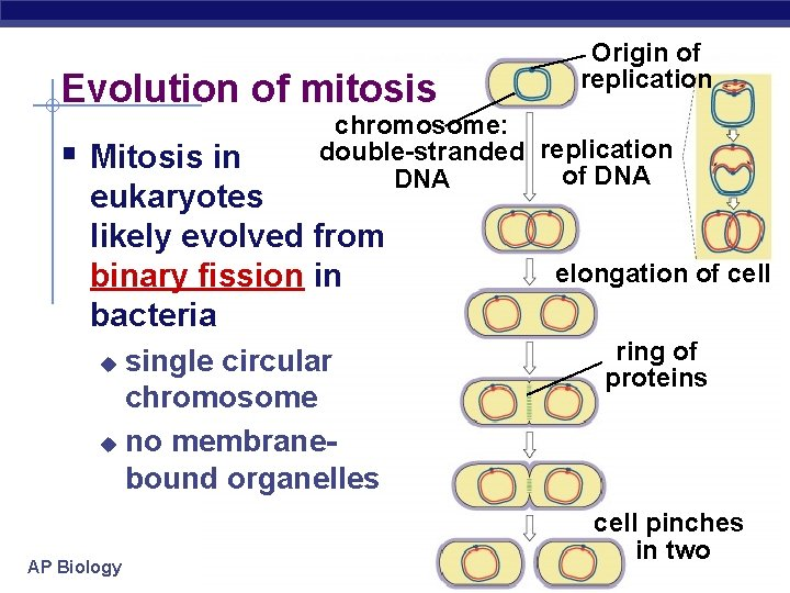 Evolution of mitosis § Mitosis in chromosome: double-stranded replication of DNA eukaryotes likely evolved