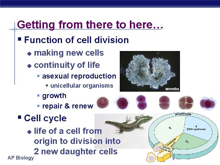 Getting from there to here… § Function of cell division making new cells u