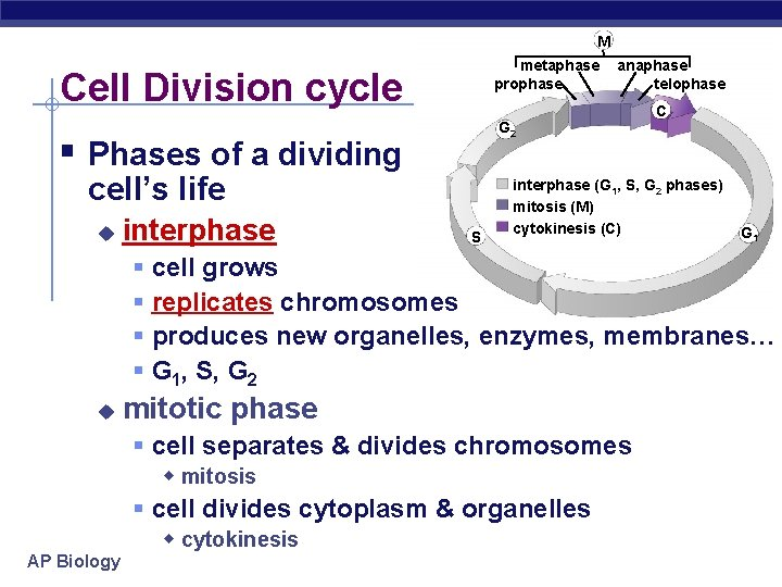 M metaphase prophase Cell Division cycle C G 2 § Phases of a dividing