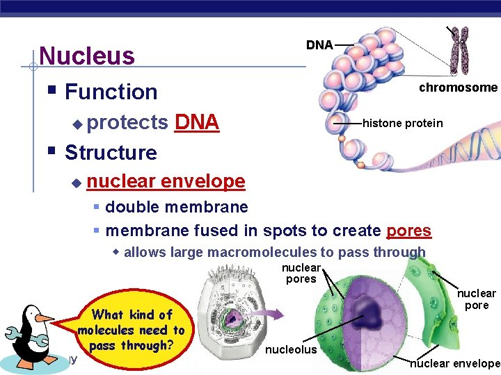 Nucleus DNA § Function chromosome protects DNA Structure histone protein u § u nuclear
