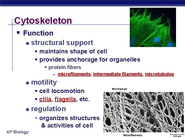 Cytoskeleton § Function u structural support § maintains shape of cell § provides anchorage
