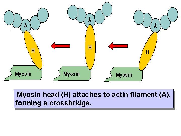 Myosin head (H) attaches to actin filament (A), forming a crossbridge.
