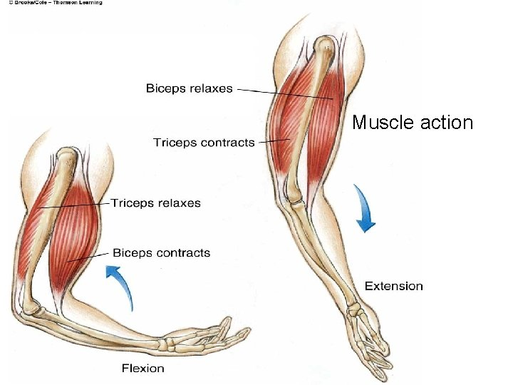 Muscle action