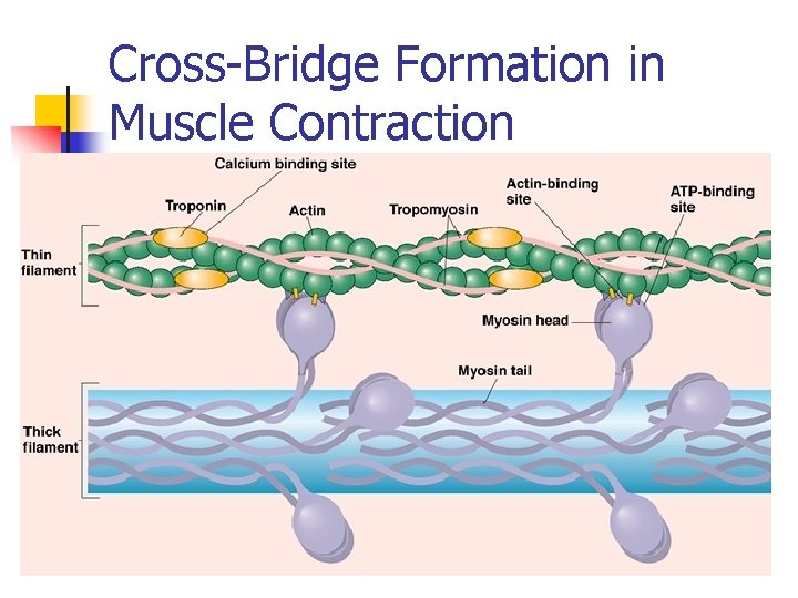 Cross-Bridge Formation in Muscle Contraction