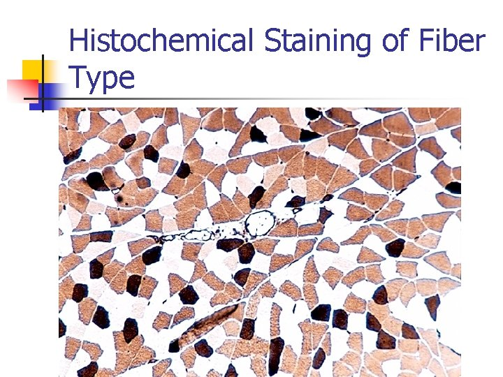 Histochemical Staining of Fiber Type