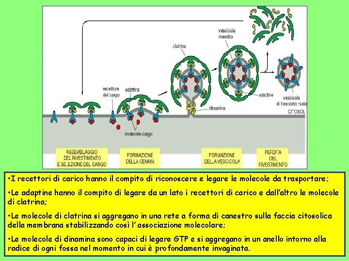 • I recettori di carico hanno il compito di riconoscere e legare le
