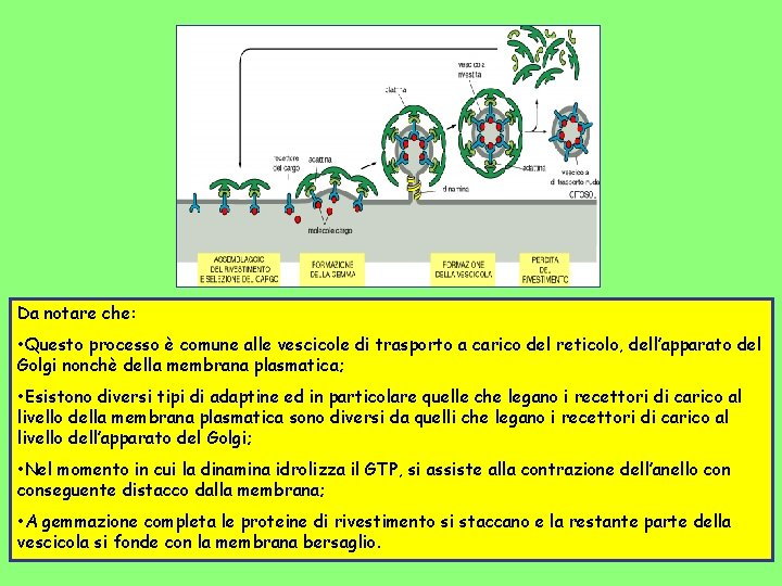 Da notare che: • Questo processo è comune alle vescicole di trasporto a carico