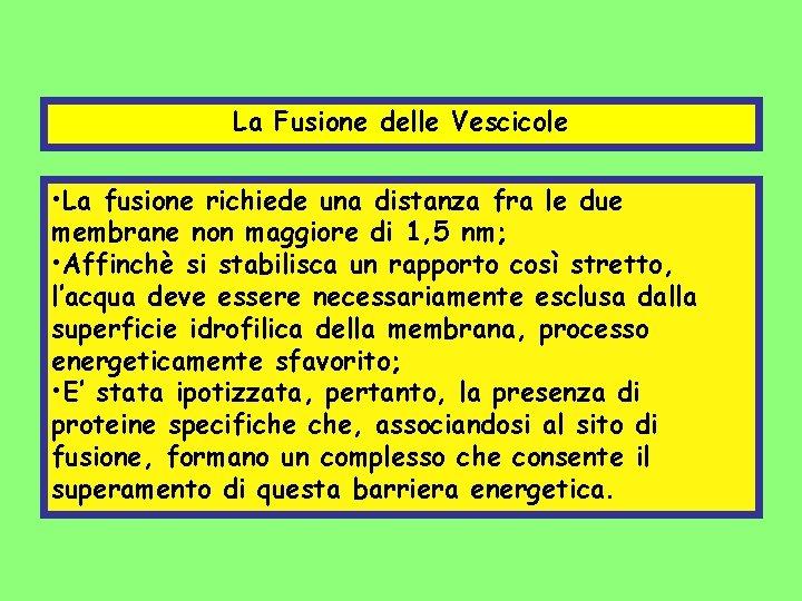 La Fusione delle Vescicole • La fusione richiede una distanza fra le due membrane
