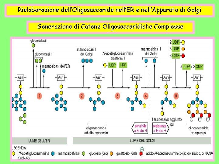 Rielaborazione dell'Oligosaccaride nell'ER e nell'Apparato di Golgi Generazione di Catene Oligosaccaridiche Complesse