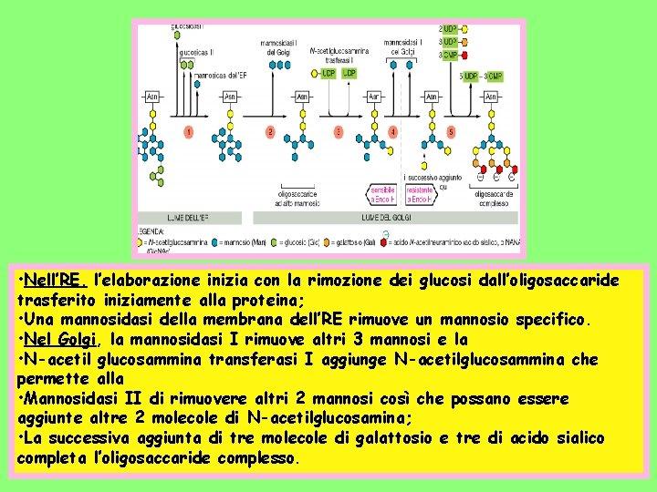 • Nell'RE, l'elaborazione inizia con la rimozione dei glucosi dall'oligosaccaride trasferito iniziamente alla