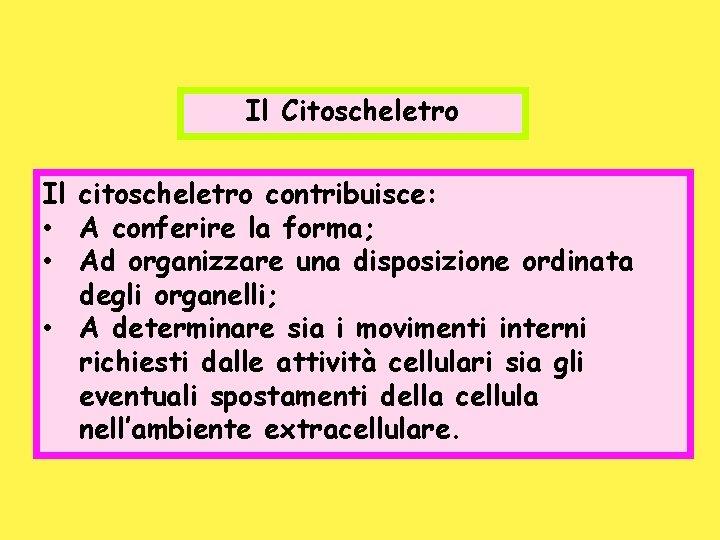 Il Citoscheletro Il citoscheletro contribuisce: • A conferire la forma; • Ad organizzare una