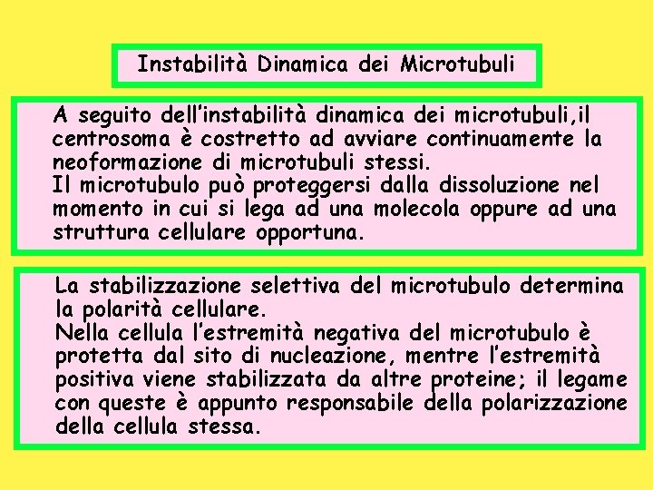 Instabilità Dinamica dei Microtubuli A seguito dell'instabilità dinamica dei microtubuli, il centrosoma è costretto