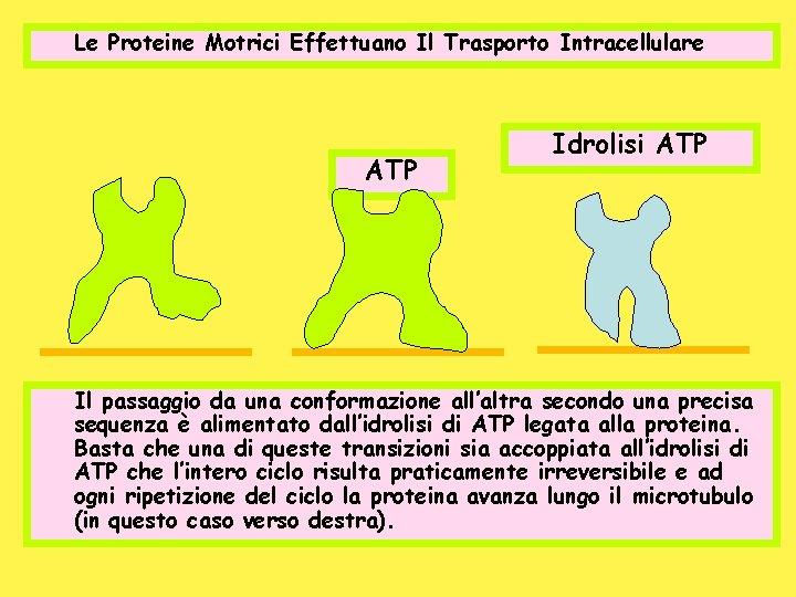 Le Proteine Motrici Effettuano Il Trasporto Intracellulare ATP Idrolisi ATP Il passaggio da una