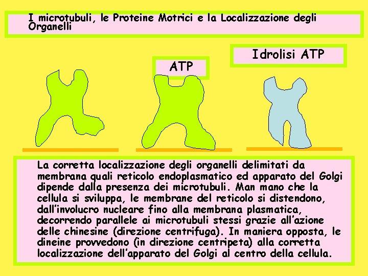 I microtubuli, le Proteine Motrici e la Localizzazione degli Organelli ATP Idrolisi ATP La