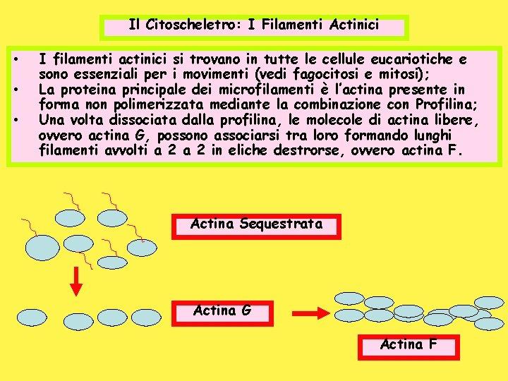 Il Citoscheletro: I Filamenti Actinici • • • I filamenti actinici si trovano in
