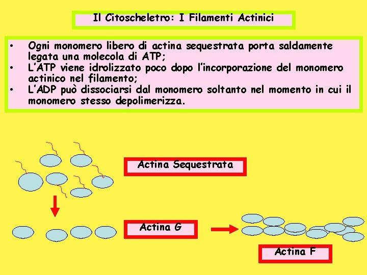 Il Citoscheletro: I Filamenti Actinici • • • Ogni monomero libero di actina sequestrata
