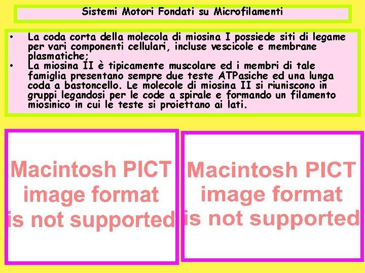 Sistemi Motori Fondati su Microfilamenti • • La coda corta della molecola di miosina