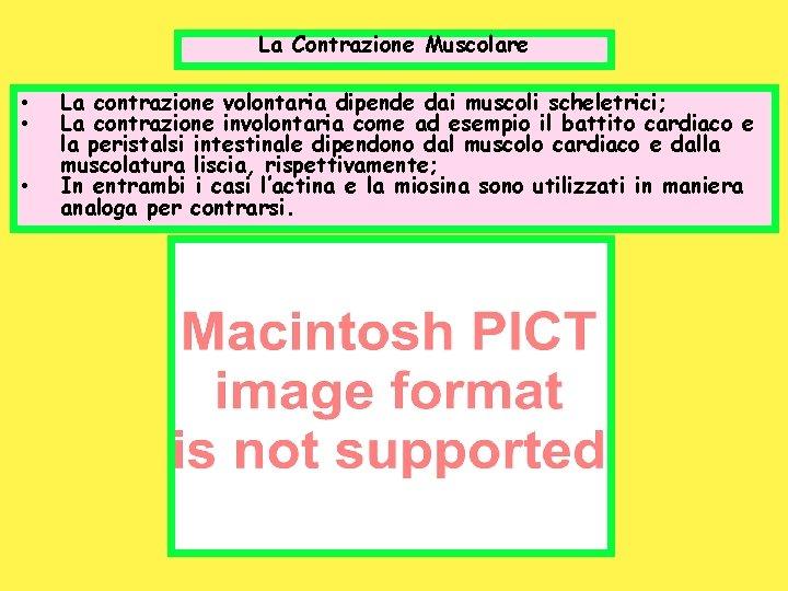 La Contrazione Muscolare • • • La contrazione volontaria dipende dai muscoli scheletrici; La