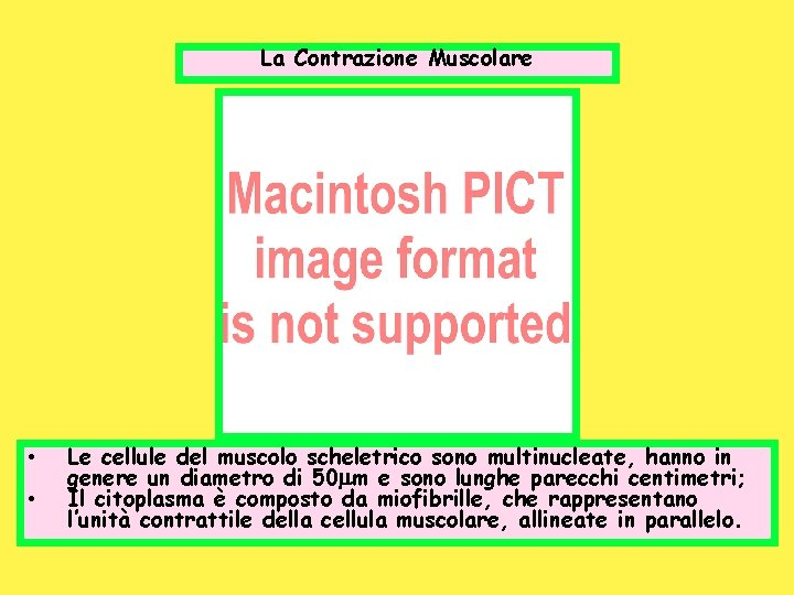 La Contrazione Muscolare • • Le cellule del muscolo scheletrico sono multinucleate, hanno in