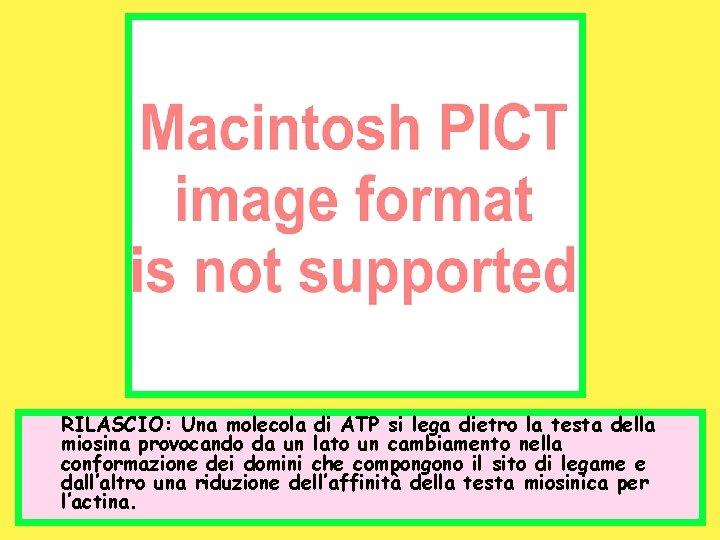 RILASCIO: Una molecola di ATP si lega dietro la testa della miosina provocando da