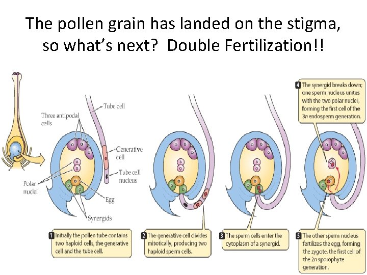 The pollen grain has landed on the stigma, so what's next? Double Fertilization!!