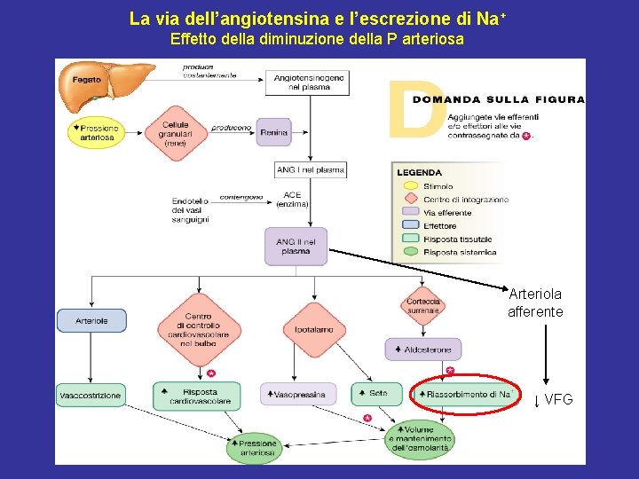 La via dell'angiotensina e l'escrezione di Na+ Effetto della diminuzione della P arteriosa Arteriola