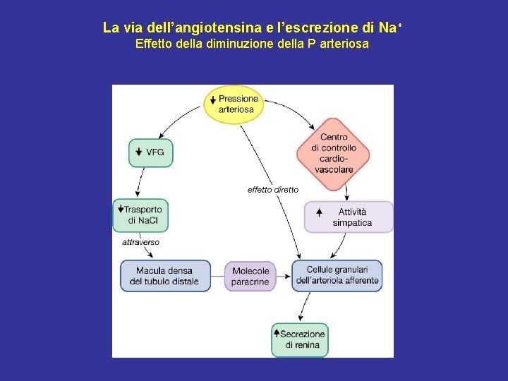 La via dell'angiotensina e l'escrezione di Na+ Effetto della diminuzione della P arteriosa