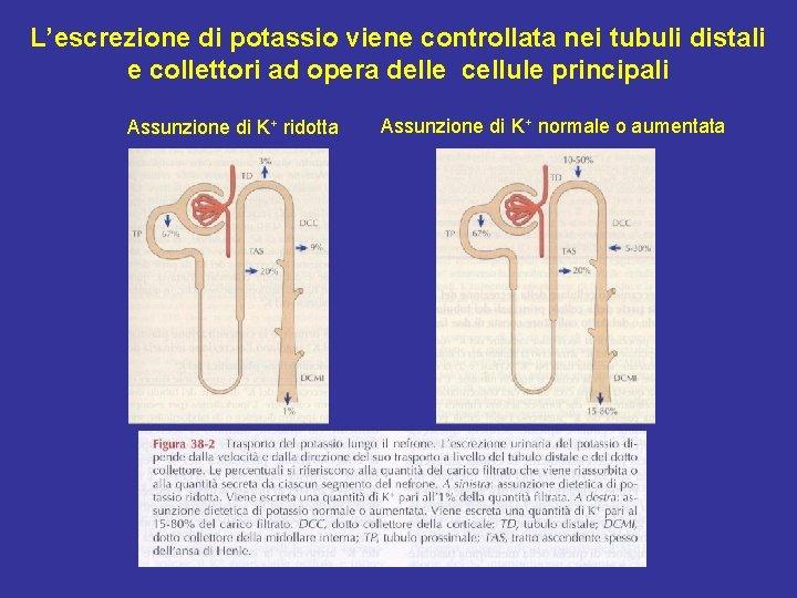 L'escrezione di potassio viene controllata nei tubuli distali e collettori ad opera delle cellule