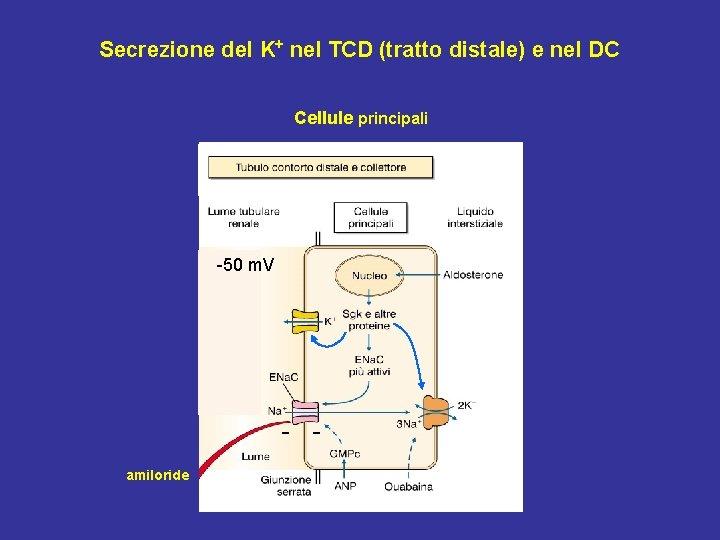 Secrezione del K+ nel TCD (tratto distale) e nel DC Cellule principali -50 m.