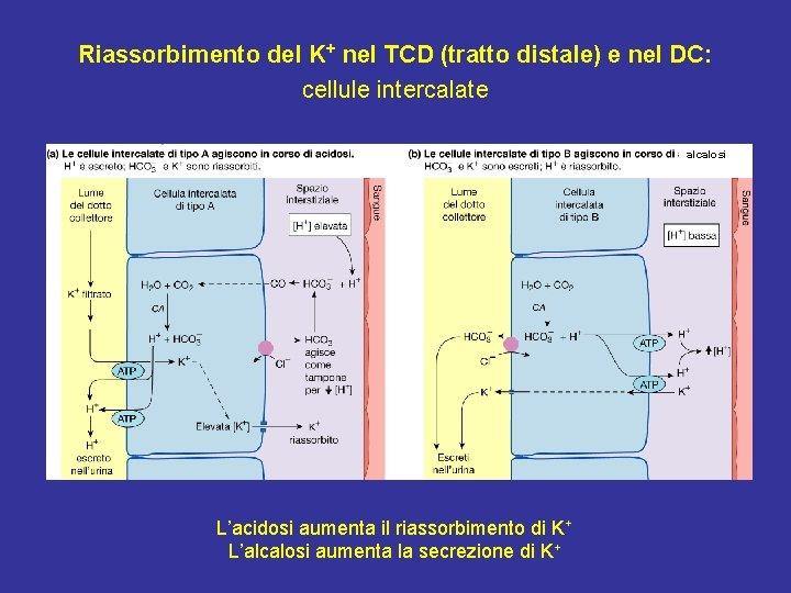 Riassorbimento del K+ nel TCD (tratto distale) e nel DC: cellule intercalate alcalosi L'acidosi