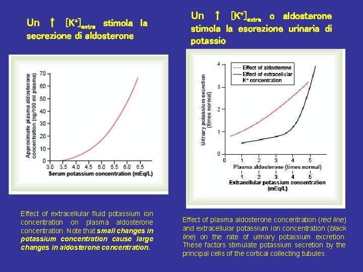 Un ↑ [K+]extra stimola la secrezione di aldosterone Effect of extracellular fluid potassium ion