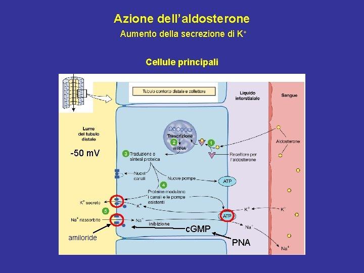 Azione dell'aldosterone Aumento della secrezione di K+ Cellule principali -50 m. V inibizione amiloride