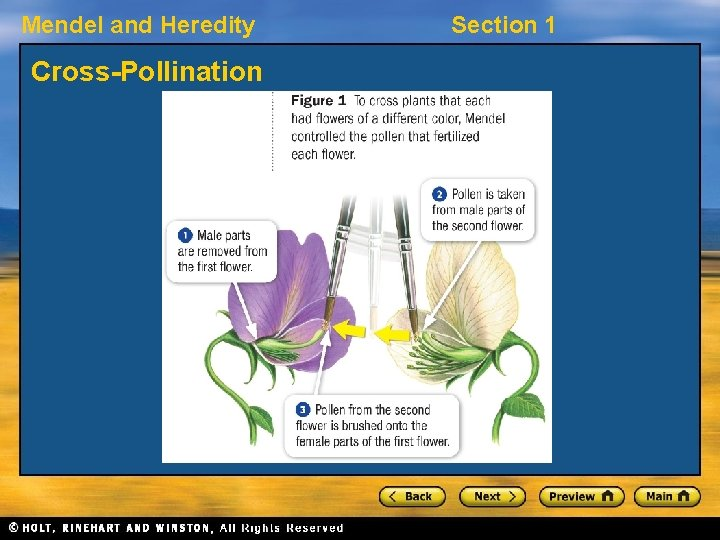 Mendel and Heredity Cross-Pollination Section 1