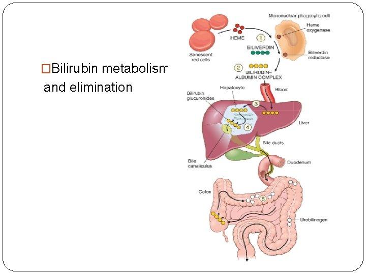 �Bilirubin metabolism and elimination