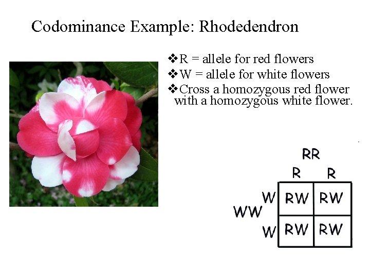 Codominance Example: Rhodedendron v. R = allele for red flowers v. W = allele